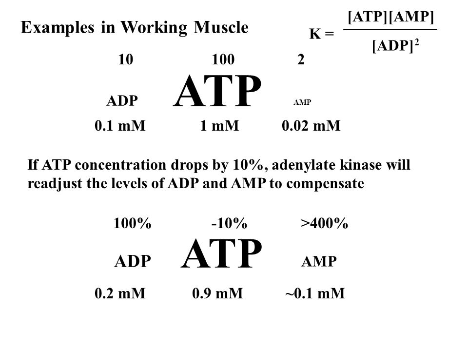 ATP ATP Examples in Working Muscle ADP K = [ATP][AMP] [ADP]2 ADP 100